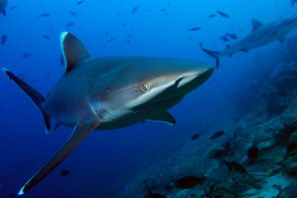 CroppedFocusedImageWzkyMCw1MTcuNSwieSIsNDdd-WWF-rangerclub-requin-haaien-gallery