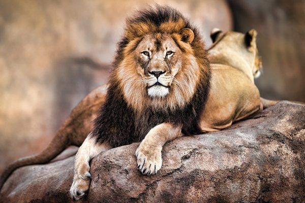 leeuw-king-of-the-pride-i47508