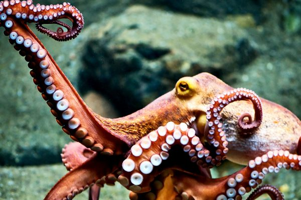 red_octopus_1600